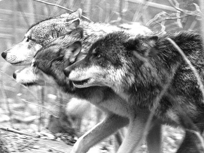 wolves-hunting